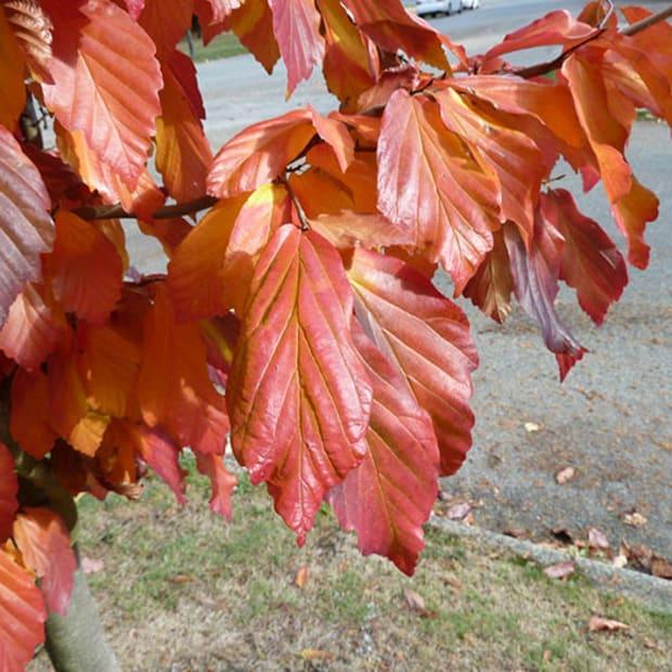 PersianIronwoodFoliage
