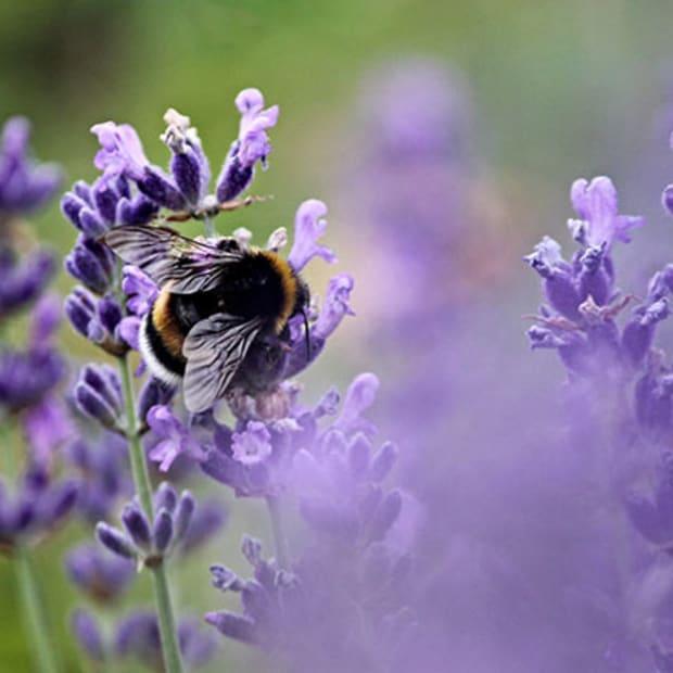 LavenderBee