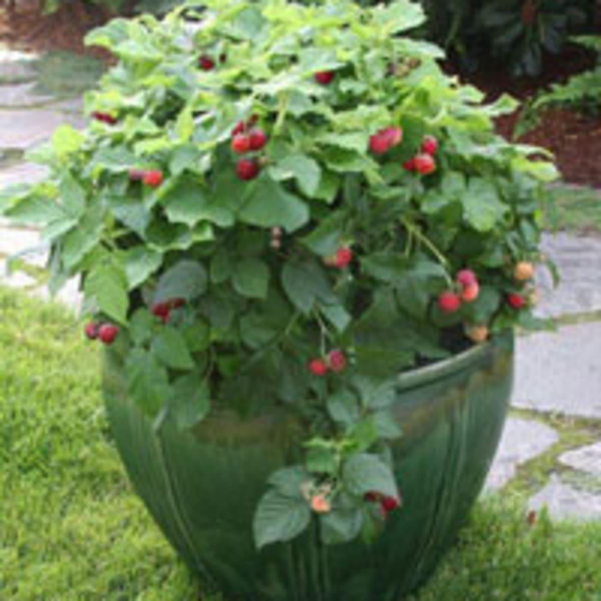 Pruning Raspberry Shortcake Dwarf Raspberry Horticulture