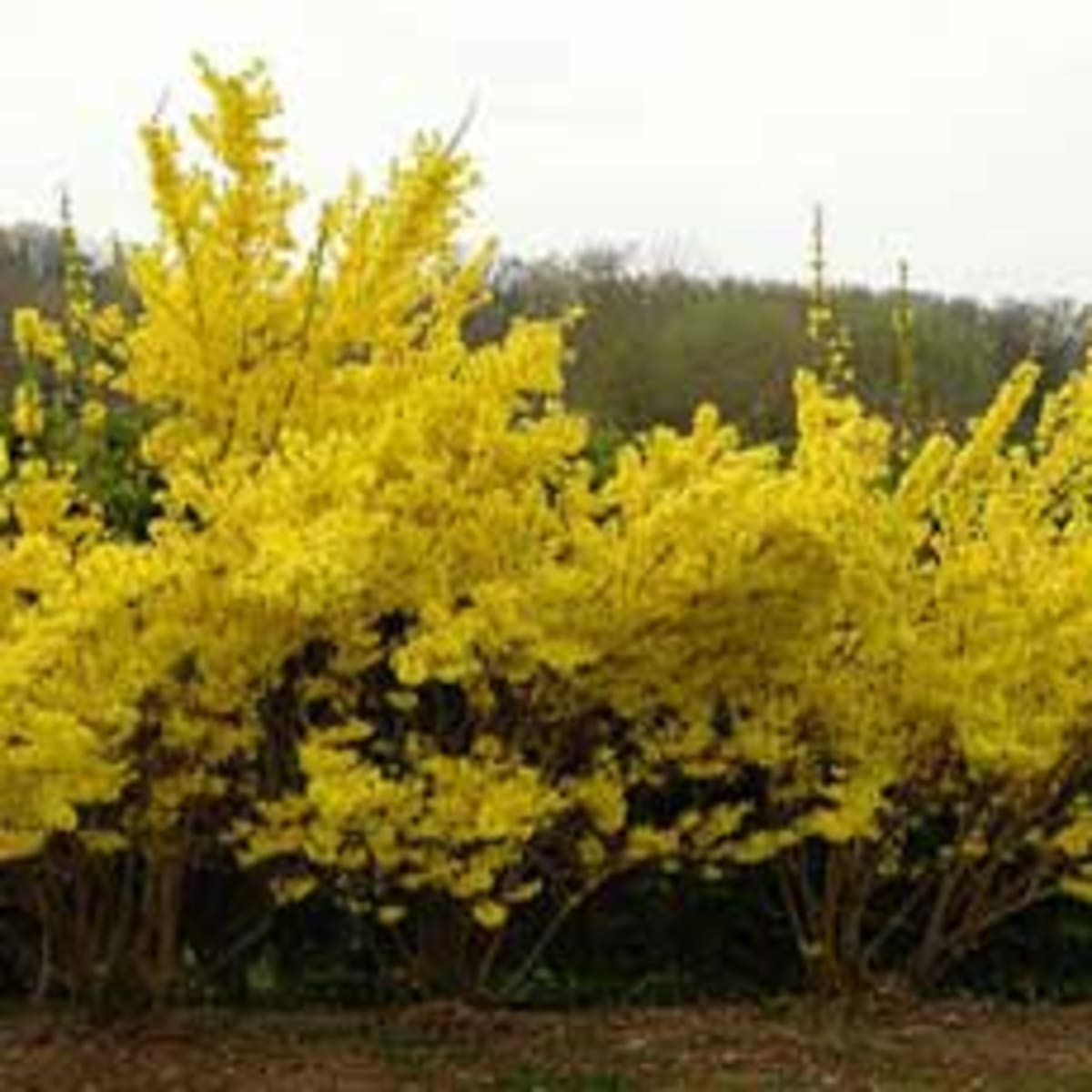 Pruning Forsythia Horticulture