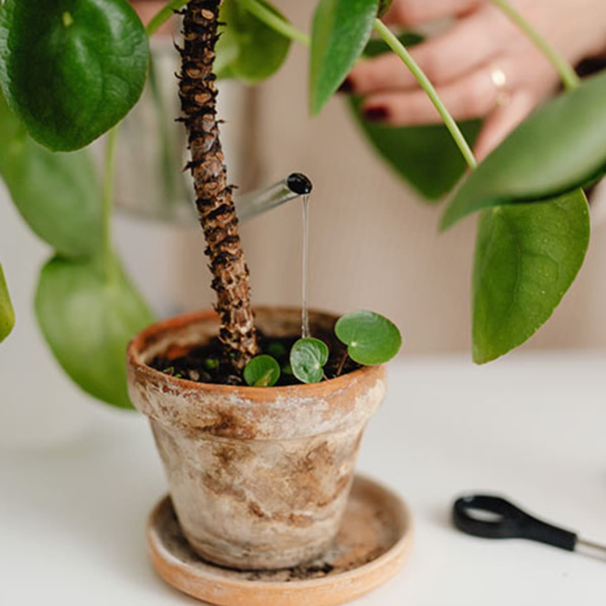 Watering Houseplants Tricks and Tips   Horticulture
