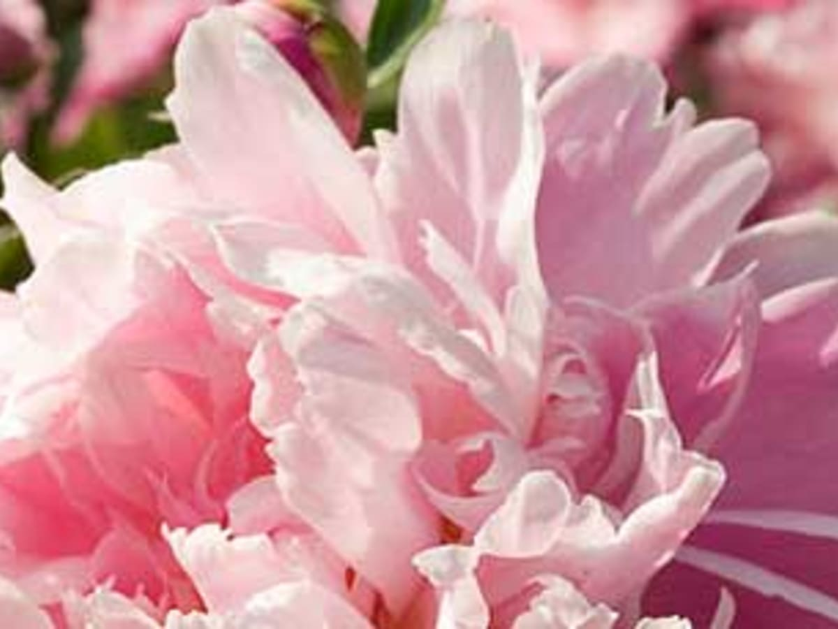 Planting Bare Root Peonies Horticulture