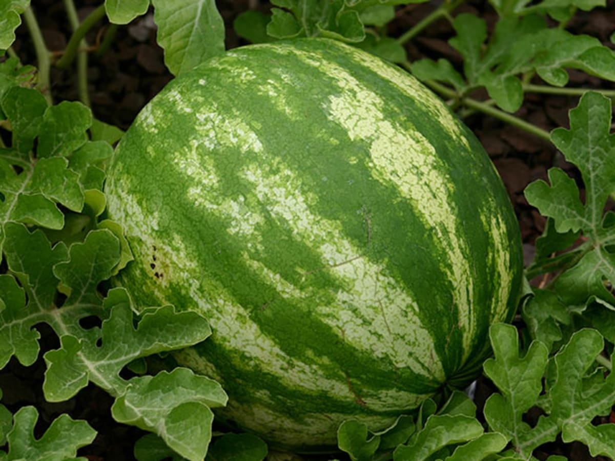 How To Grow Watermelon In The North Horticulture