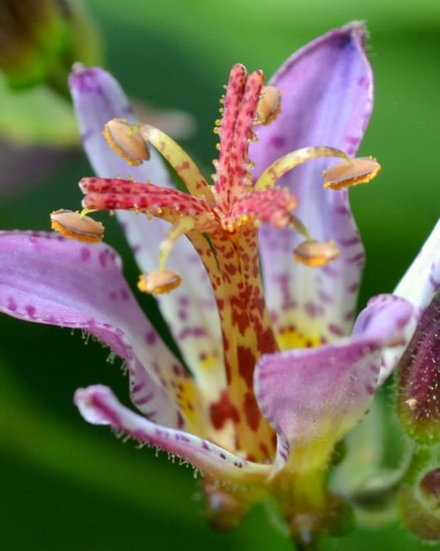 Toad Lily Horticulture