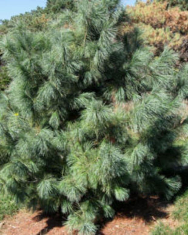 domingo pine