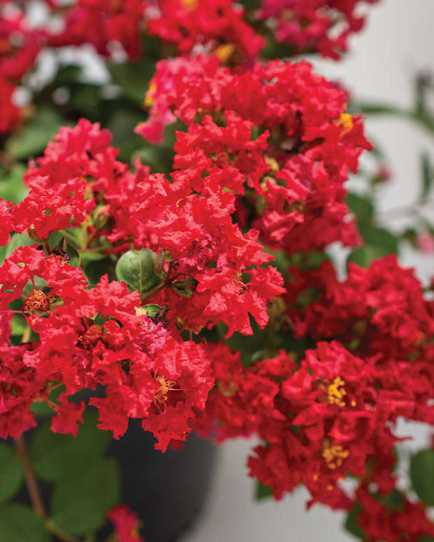 BelliniStrawberryCrapemyrtle_Bloomables-copy