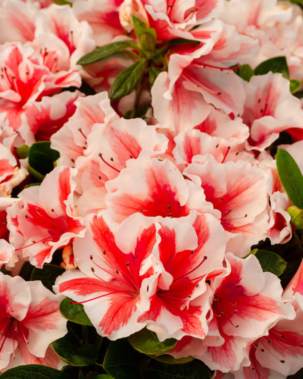 Azalea_Encore_Autumn_Starburst_Branded_Container_20200319_KAT8673_600x900
