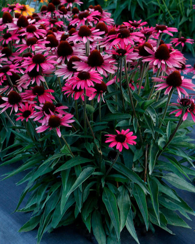 DarkShadowsWickedEchinacea