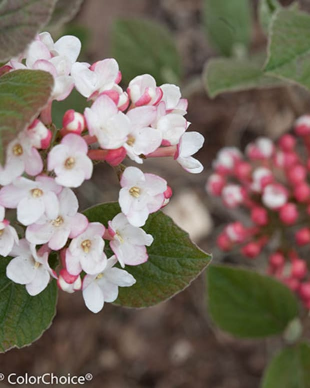 spice_girl_viburnum_flower