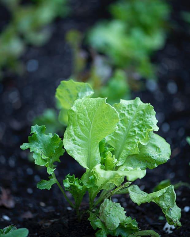 lettuce0921
