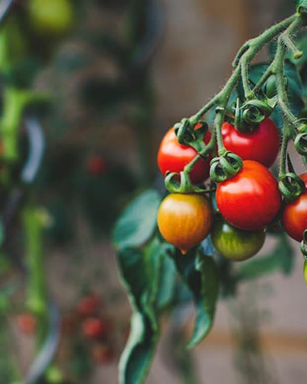 cherrytomatoesripening