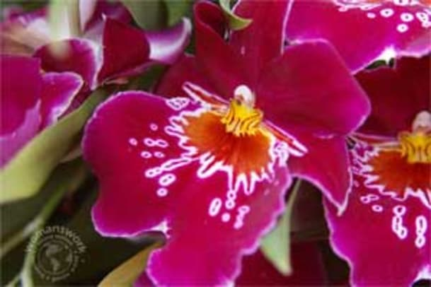 orchid5