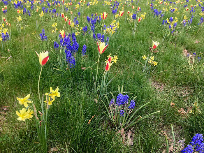 How to Plant Flower Bulbs for a Meadow Garden Effect
