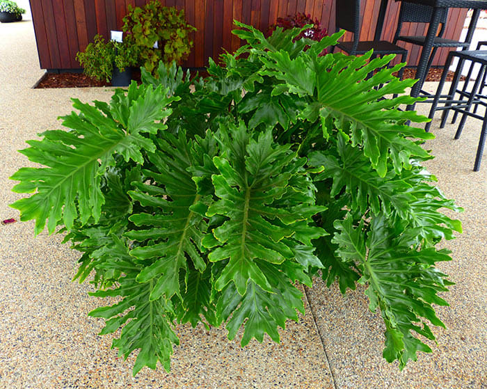 Shangri-la Philodendron Is a Compact Option Among Split-Leaf Types