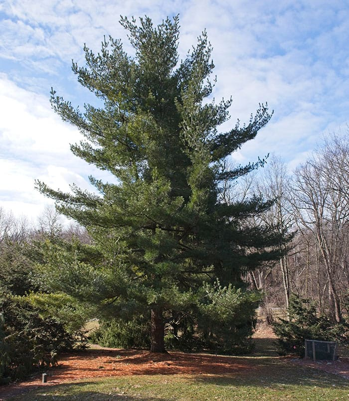 Eastern White Pine Is Named an Evergreen of the Year