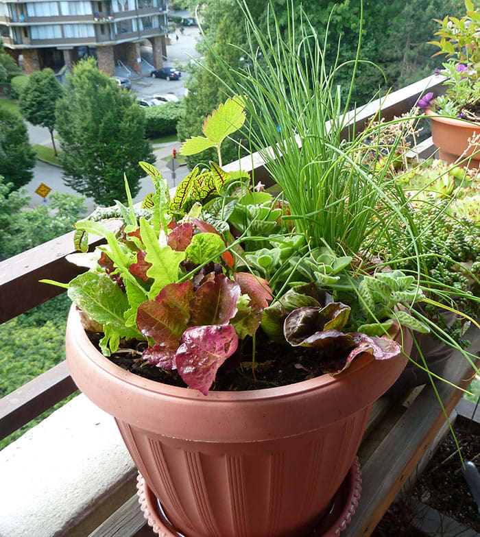 How and Why We Grow Lettuce in Containers