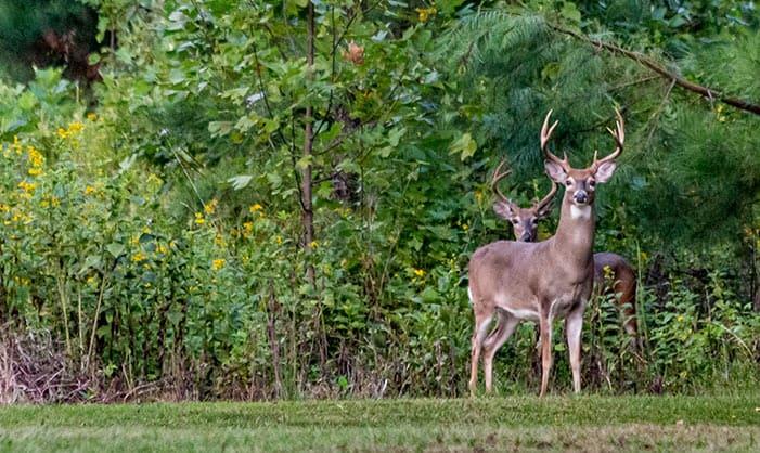 Using Milk as Deer Repellent