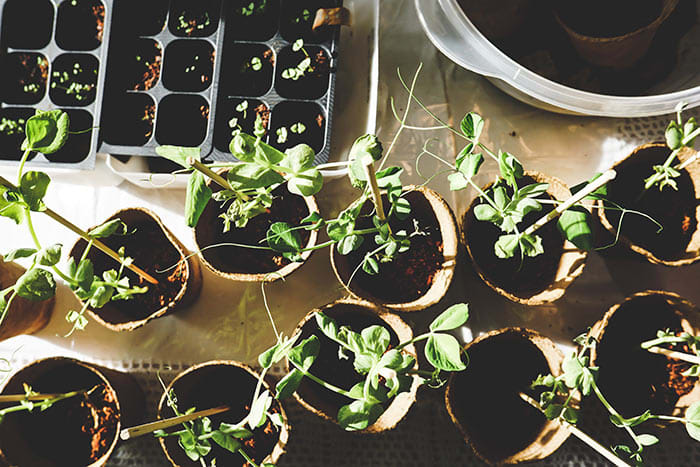 How to Transplant Seedlings to a Bigger Pot