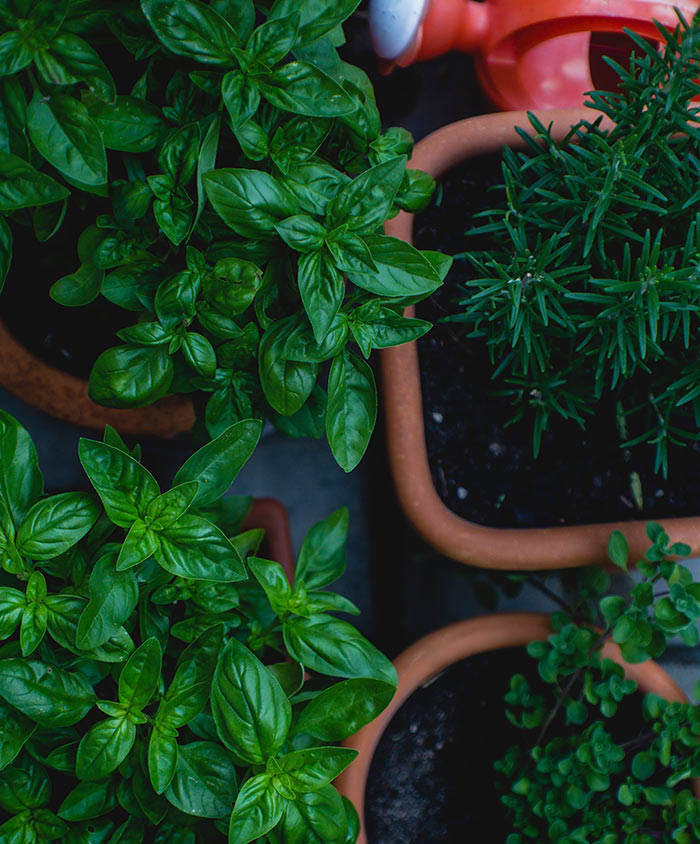 Tips for Harvesting Basil, Chives and Other Herbs