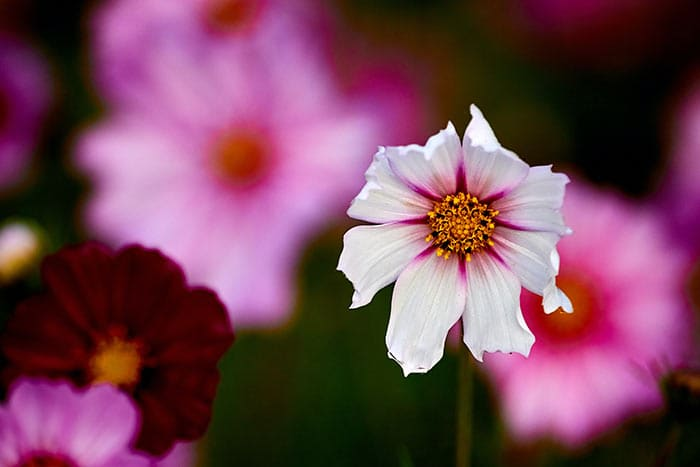 Growing Cosmos Flowers and Companion Plants