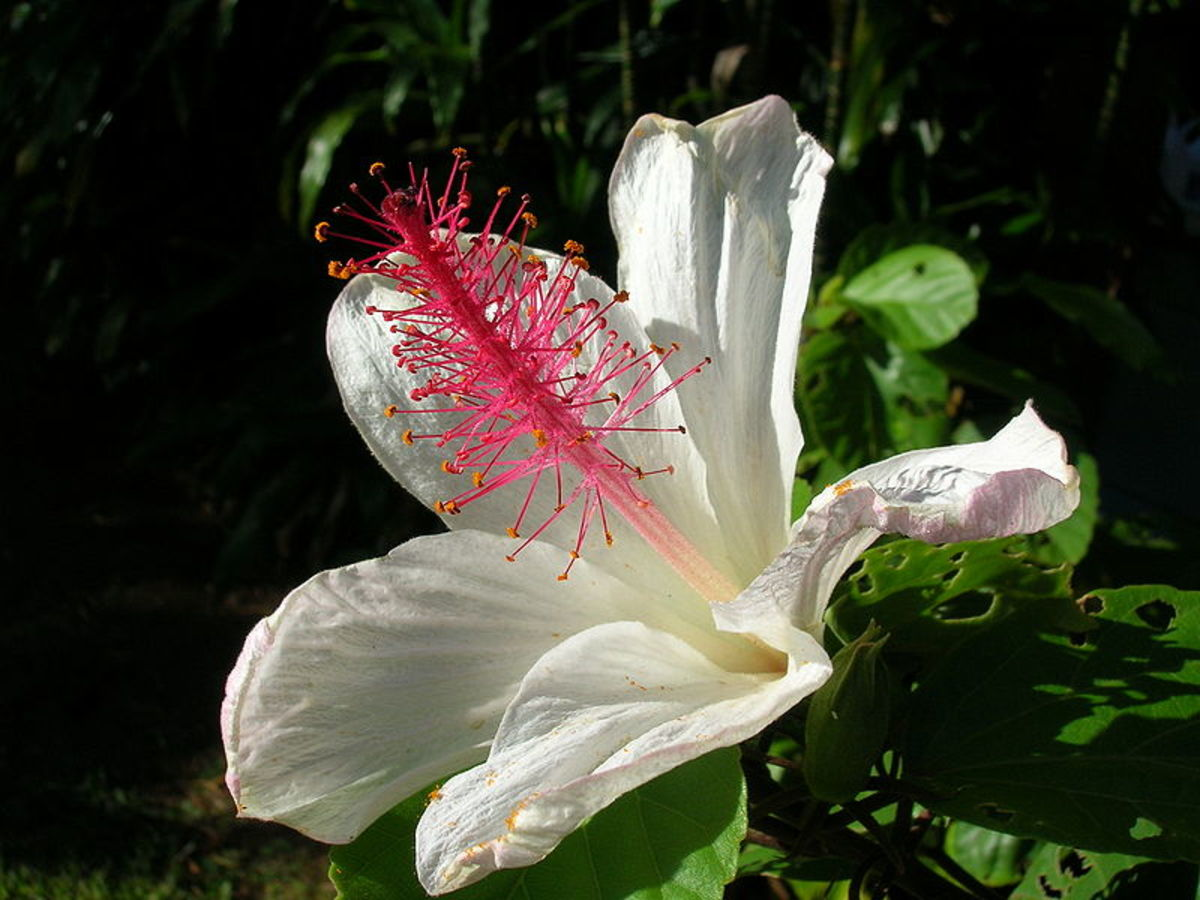 White Hibiscus (Hibiscus waimeae)