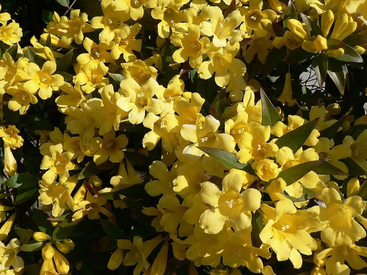 Yellow Jessamine (Gelsemium sempervirens)