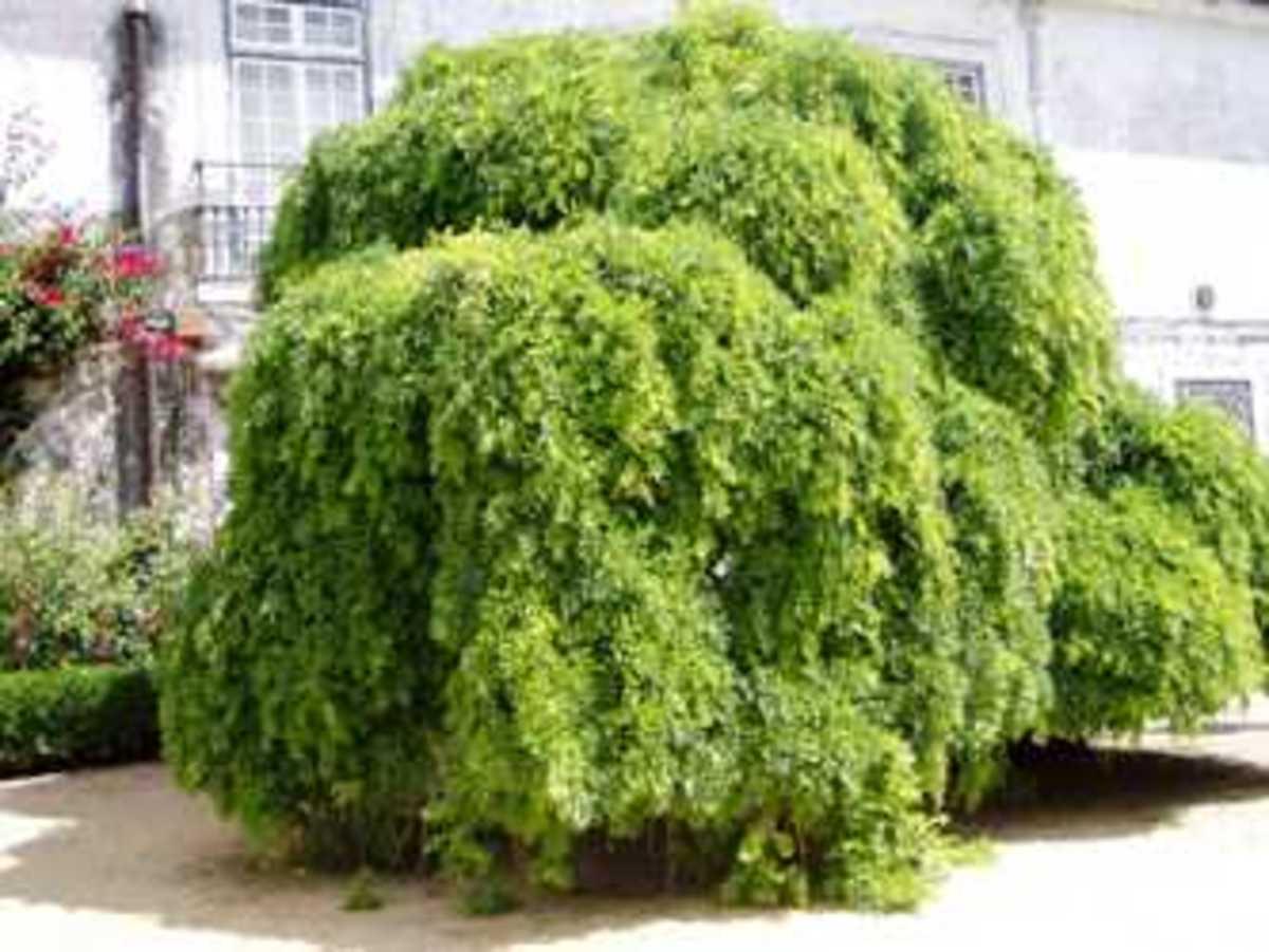 Japanese pagoda tree (Sophora japonica 'Pendula')