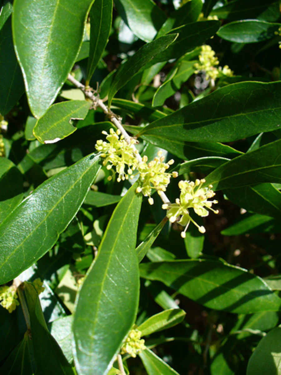 Florida Privet (Forestiera segregata)
