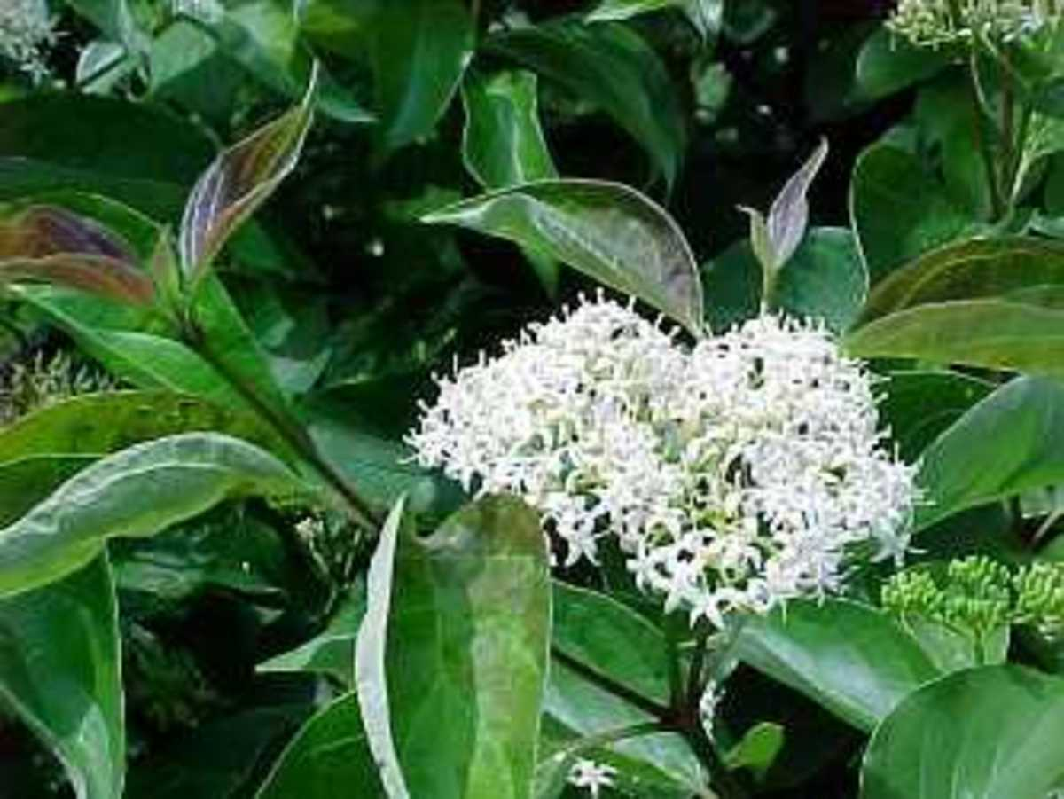 Gray Dogwood (Cornus racemosa) flower