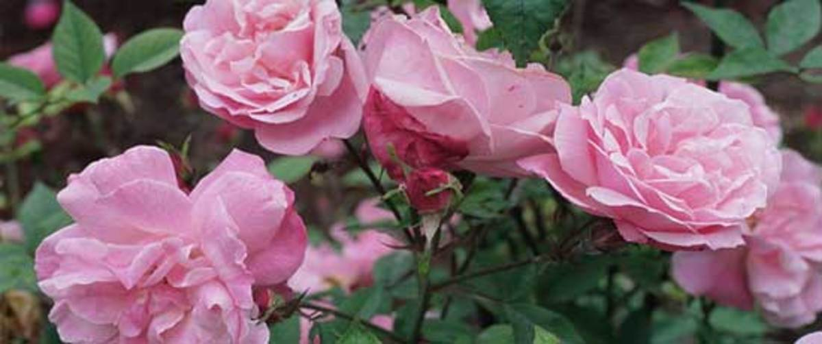 climbing rose old blush