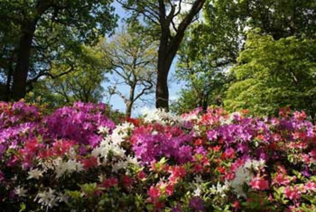 Summer-Blooming--Azaleas
