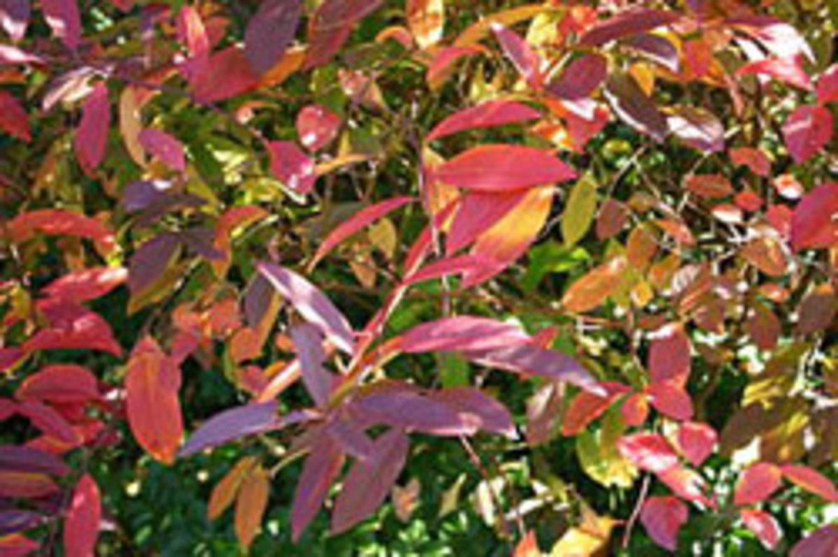 itea virginica in fall