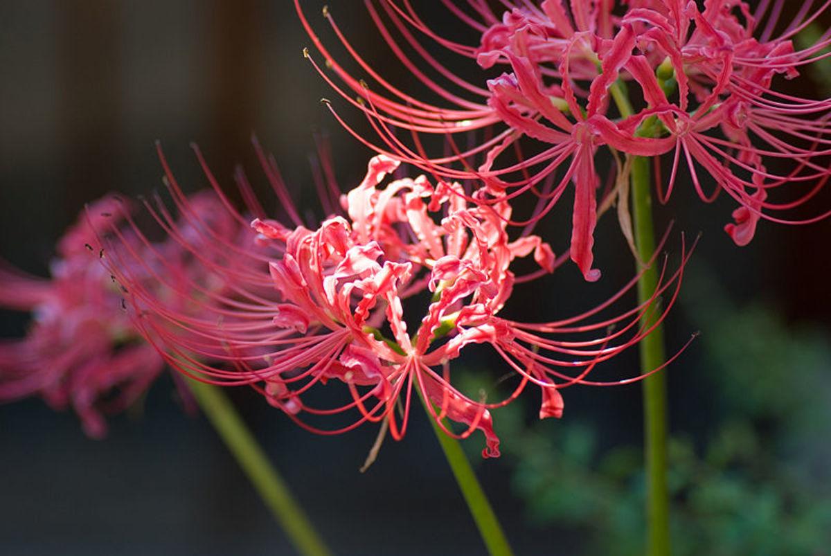 spider lily (Lycoris radiata)
