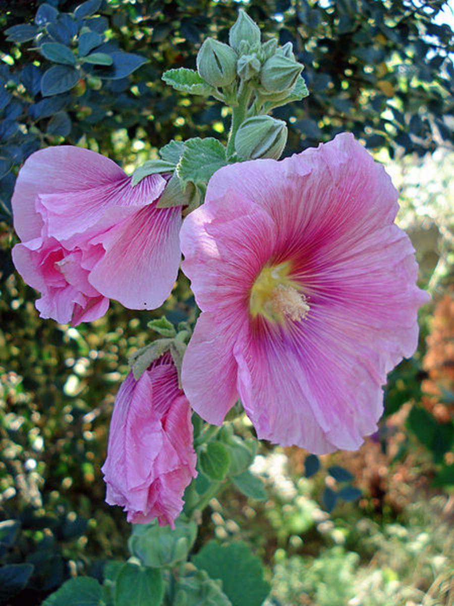 Hollyhocks (Alcea rosea)