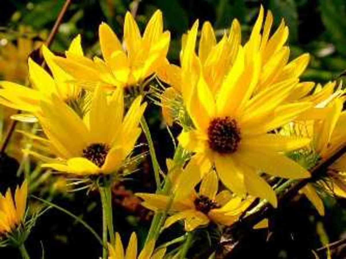 Willow-leaved sunflower (Helianthus sallicifolius)