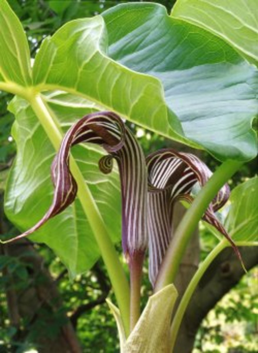 Arisaema fargesii, aka Jack-in-the-Pulpit, or Cobra Lilly