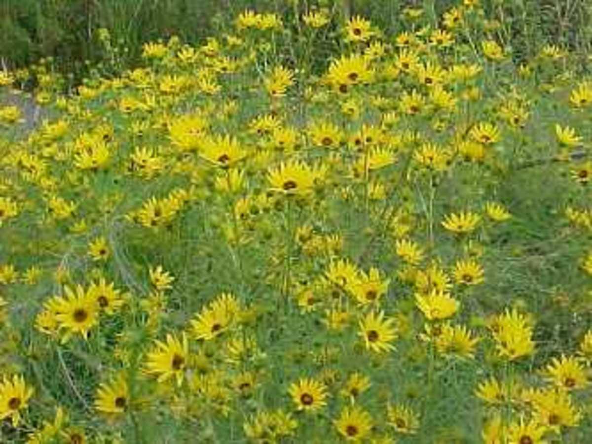 Willow-leaved sunflower (Helianthus salicifolius)