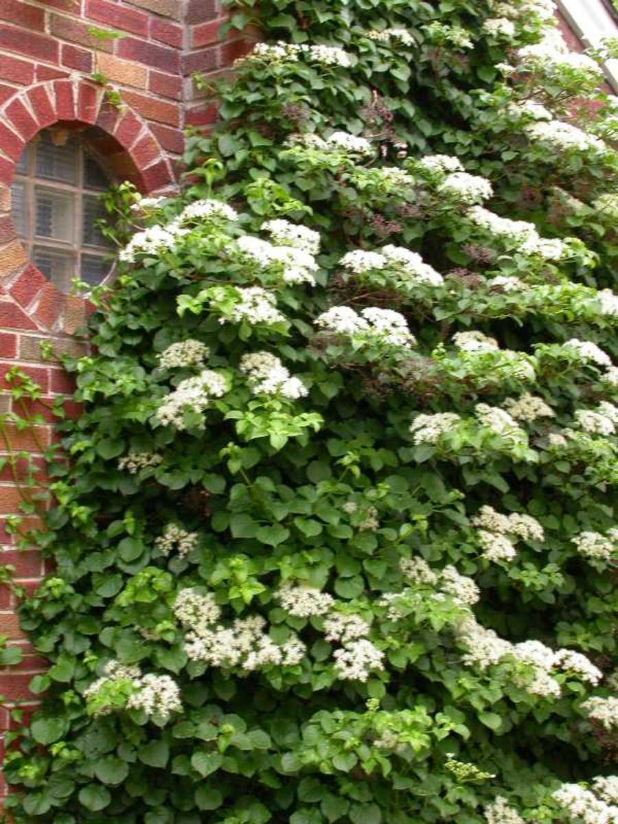 Hydrangea anomela subsp. petiolaris