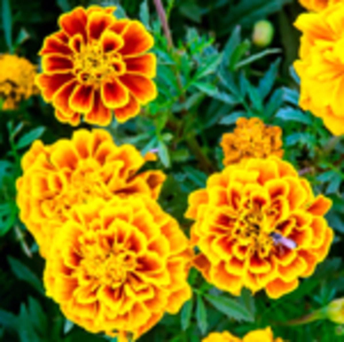 marigolds-French Marigold