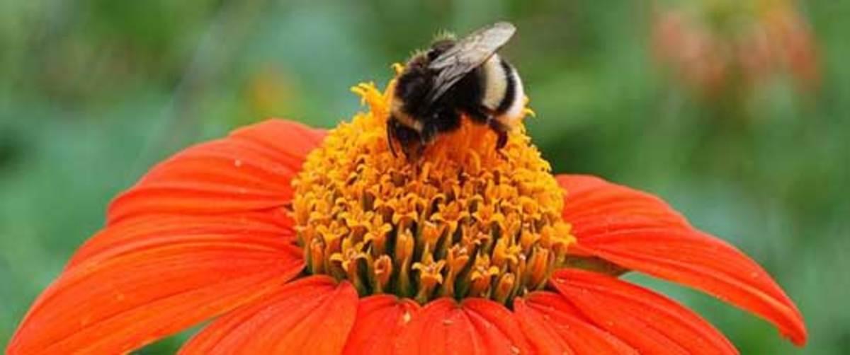 799px-Bumblebee_on_Echinace