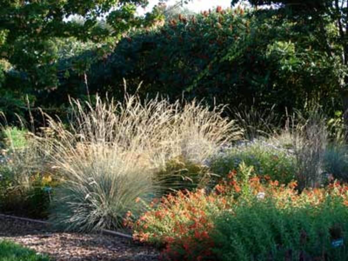 ornamental grass blue oat grass