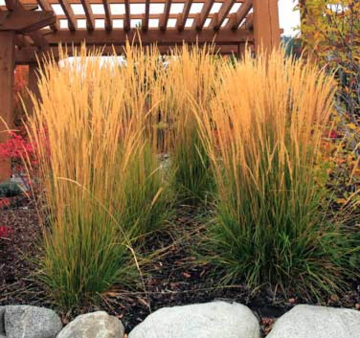 ornamental grass featherreed grass