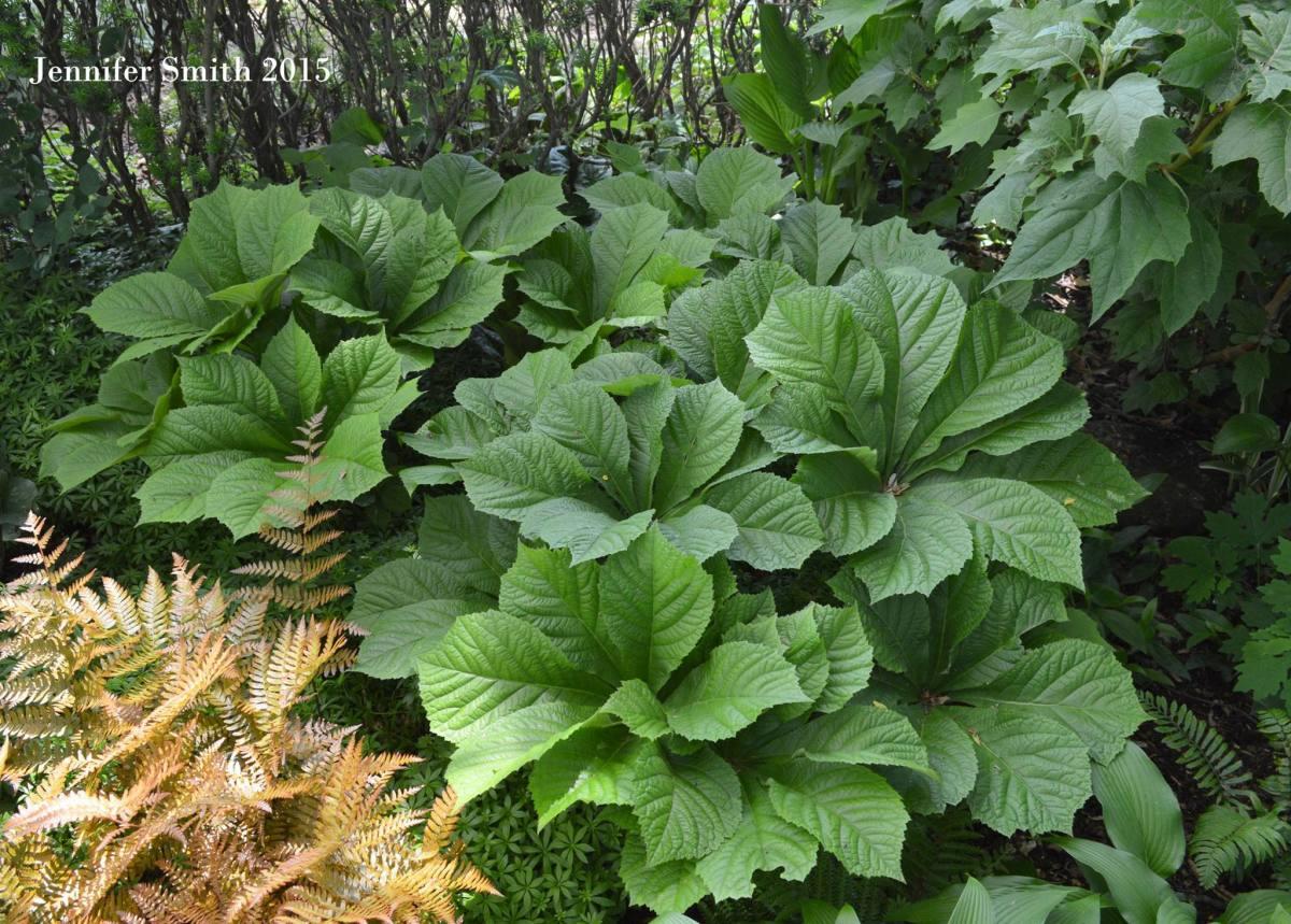 Rodgersia Horticulture