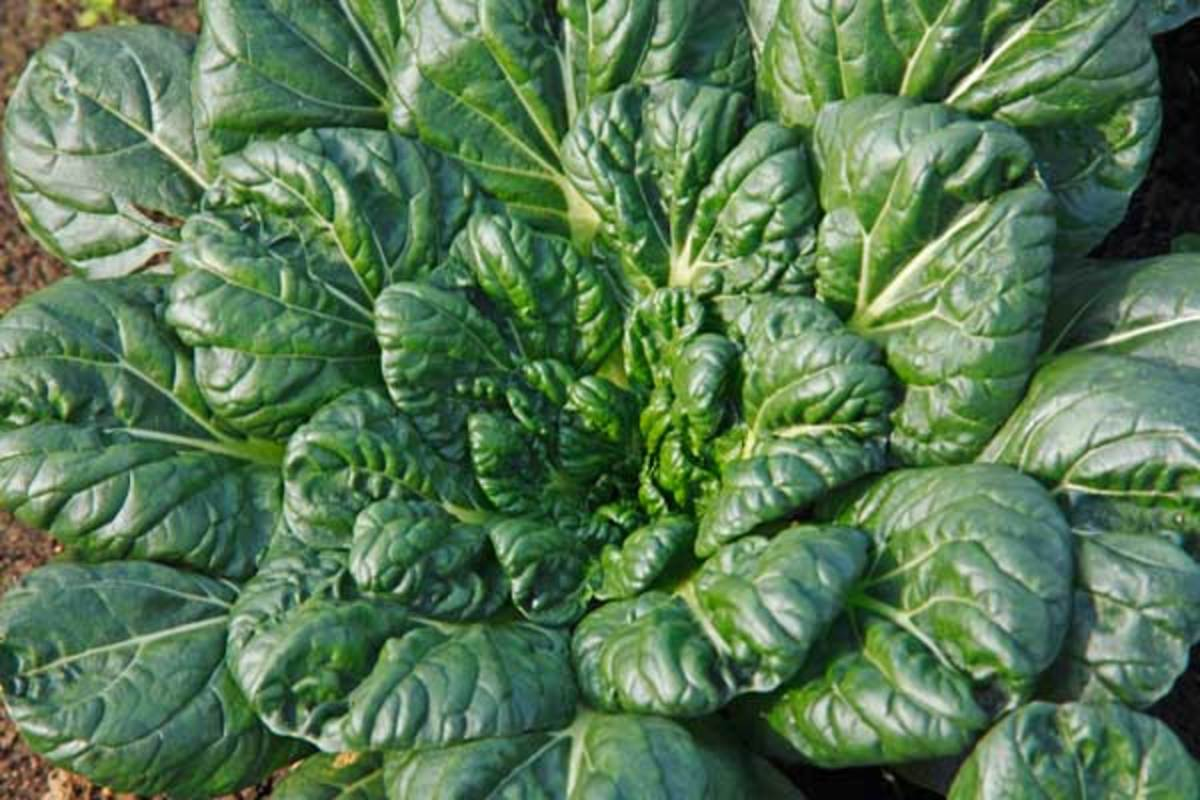 cold-tolerant greens tatsoi