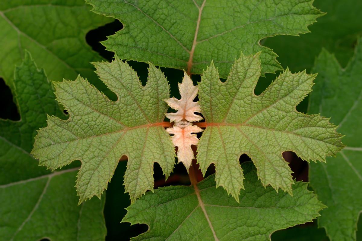 Oakleaf Hydrangea Horticulture Shade Garden