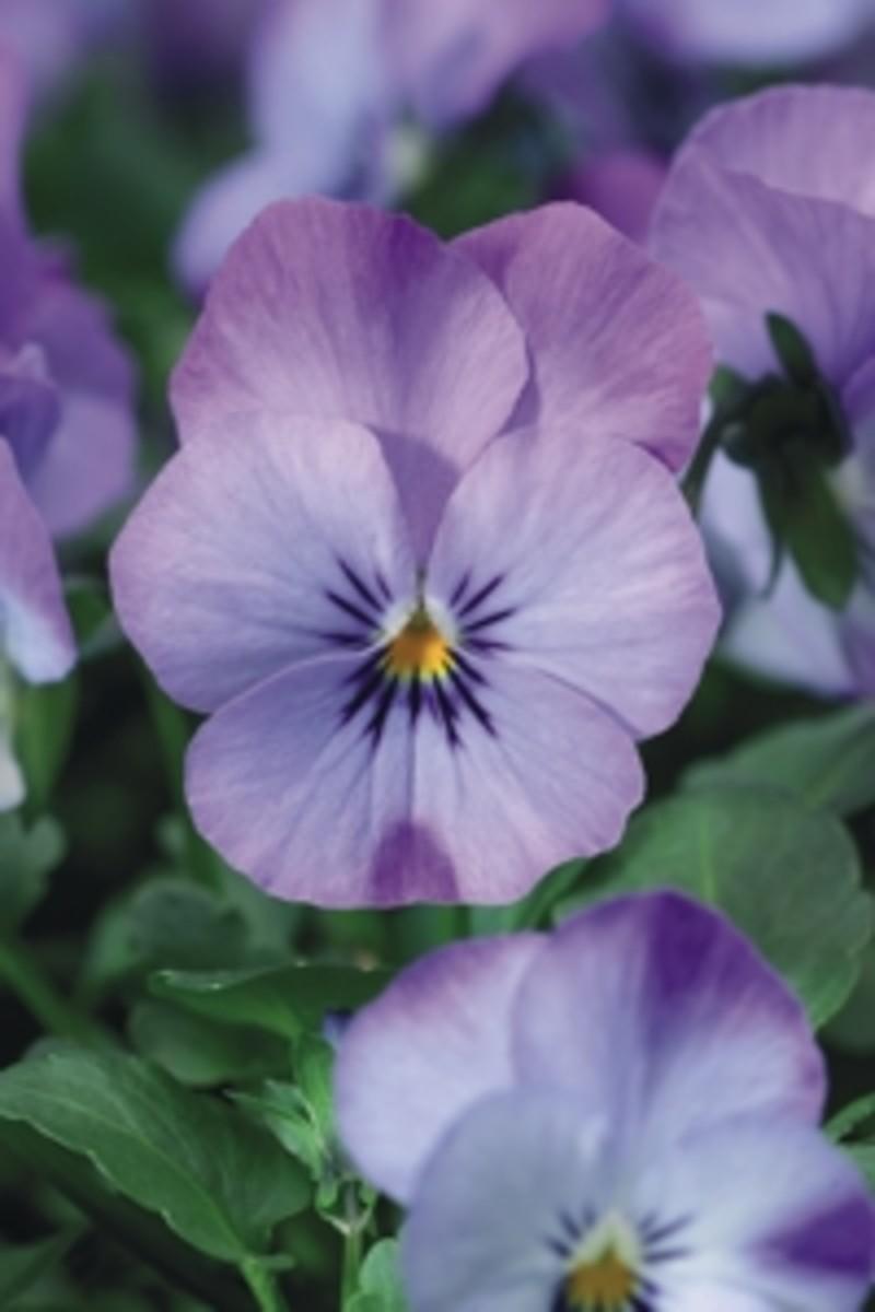 sky blue martien viola