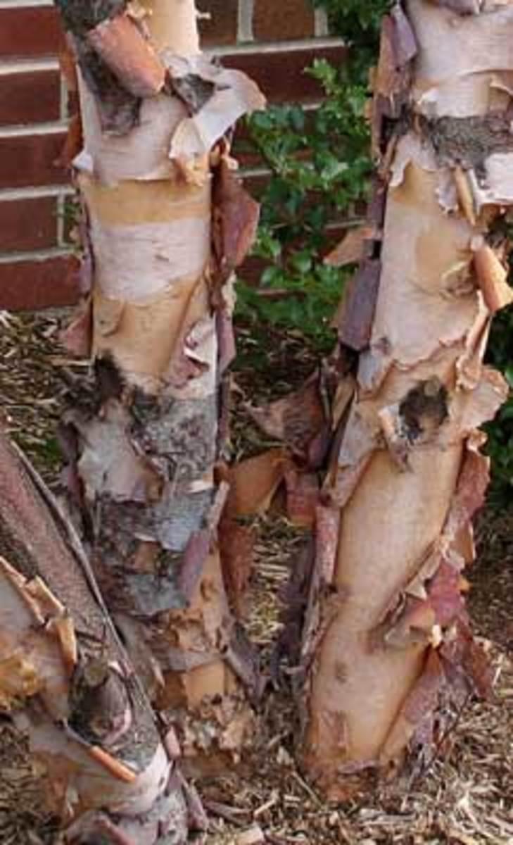 river birch betula nigra
