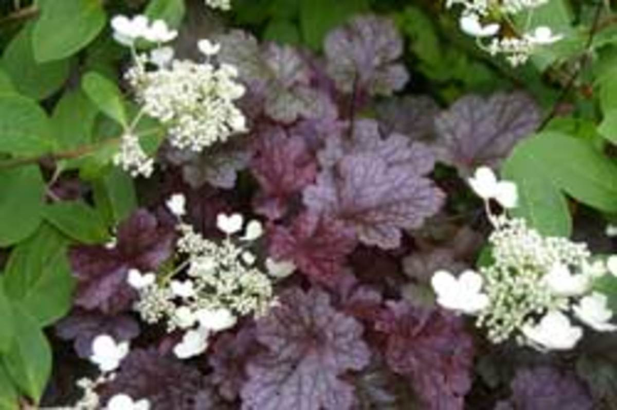 Coral bells Purple heuchera