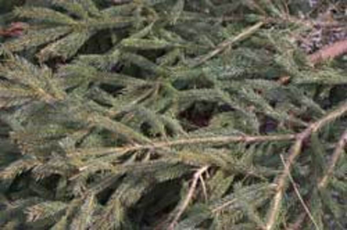 Evergreen branches as mulch