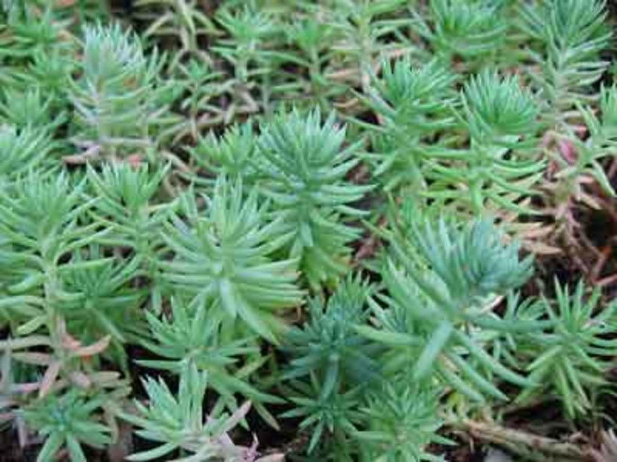 blue spruce sedum sedum rupestre